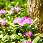 rhododendron-7685d